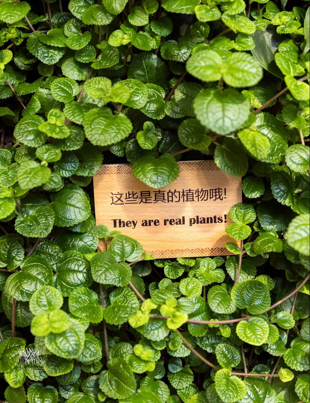 At Mingzhu Nerval, we thrive at creating the most beautiful vertical gardens in the world. For Peet's Coffee, we created a californian living wall design – Shanghai, 2017.